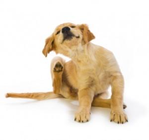 puppy-scratching-fleas-300x282